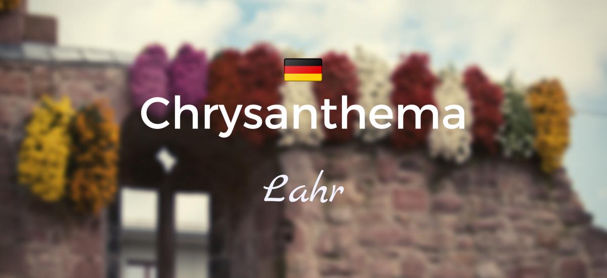 Chrysanthema de Lahr (Selva Negra)